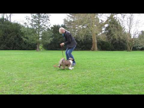 Tibetan Terrier Puppy Rayna learning to retrieve. 13 weeks old