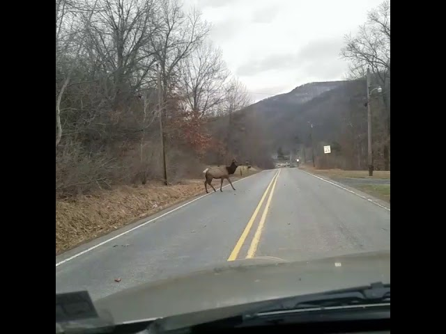 Elk in Driftwood - Cameron County, PA