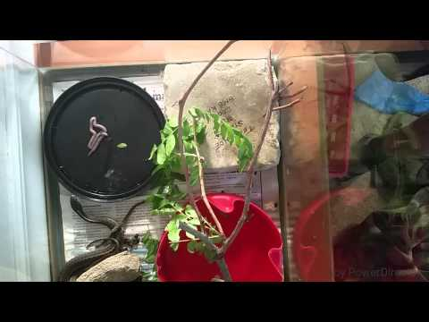 How to feed a wild caught garter snake