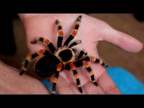 Handling beautiful Mexican Giant Red knee tarantula (B. annitha) [Inferion7]