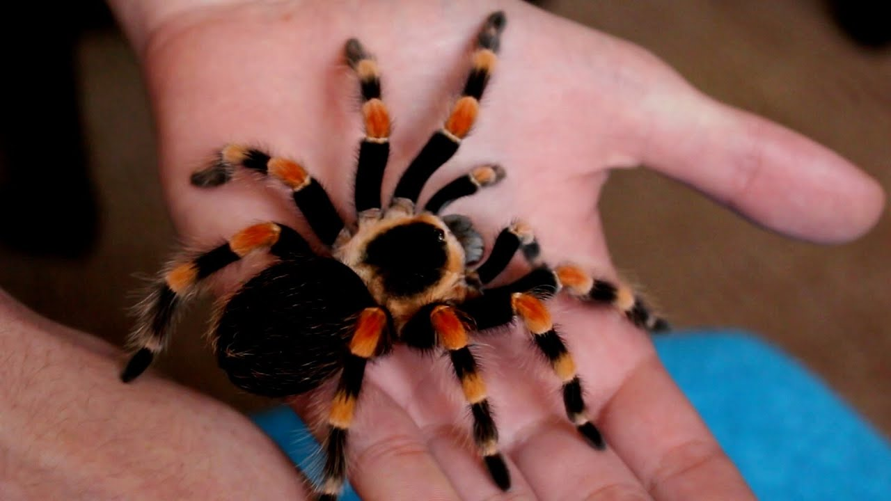 Image result for red legged tarantula""