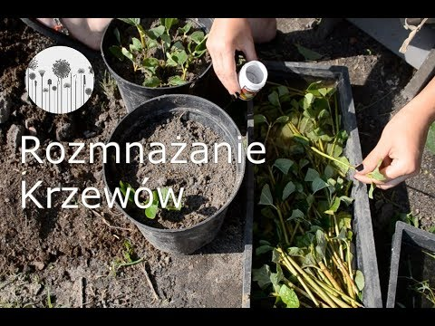 Rozmnażanie krzewów. Jak rozmnożyć krzewy ogrodowe? Jaśminowiec