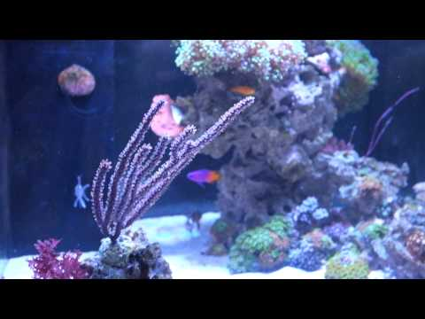 Tank Update - New Mocha DiVinic Clowns, Royal Gramma, Yellow Clown Goby, Frogspawn... Etc Etc