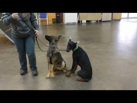 Doberman/German Shepherd Duo 'Wiley & Vargo' 7 Mo's Tandem Obedience