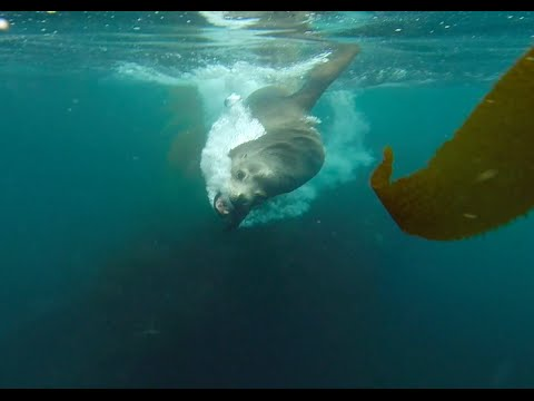 Sea Lion Charges Diver in Threat Display - GoPro