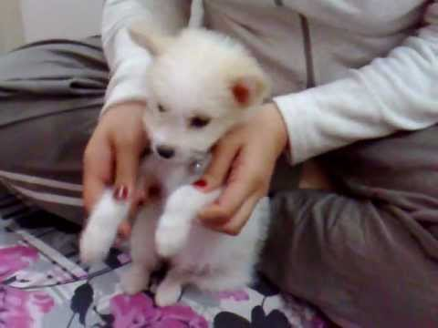 mudssey (dog) dancing with afghani song (yak qadam pesh yak qadam pas)
