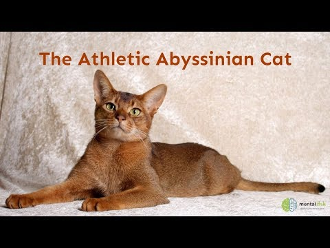 The Athletic Abyssinian Cat
