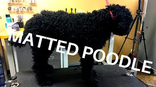 SEVERELY MATTED POODLE FULL GROOM