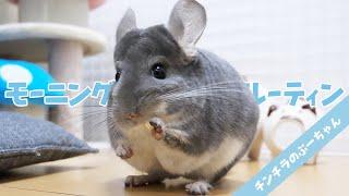 【Morning Routine】可愛すぎるチンチラのぷーちゃんのモーニングルーティン Funny and Cute Chinchilla