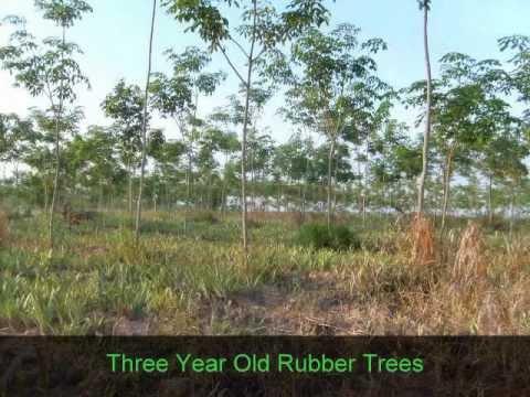 Rubber Tree Plantations For Sale in Prachuap Kiri Khan Province, Thailand