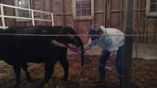 How To Pull A Calf Video
