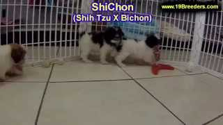 ShiChon, Puppies, For, Sale, In, Baton Rouge, Louisiana, LA, Minden, West Monroe, Luling, Crowley, R