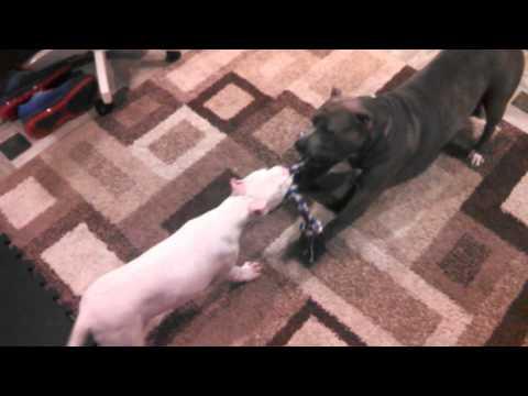 11 week old Argentine Dogo VS Pit bull!!!