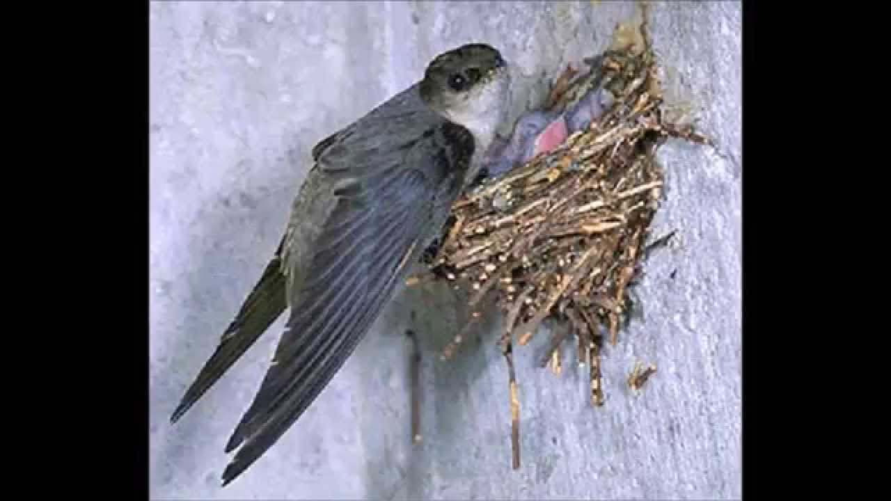 chimney swift audio by get bats out youtube