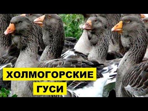 Вопрос: Откуда родом холмогорские гуси?