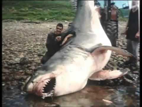 Uno dei pi grandi squali mai filmati youtube for Vendita pesci