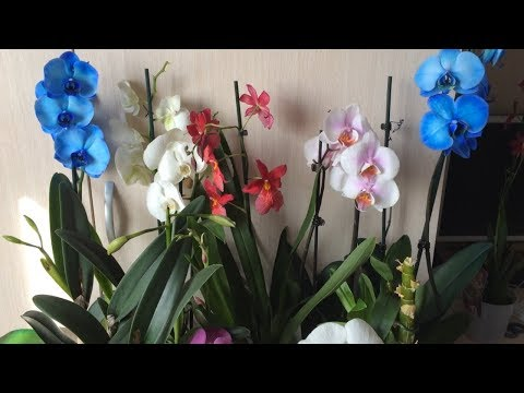 Завоз орхидей 27. 02. 2019г.  Камбрии, синголо, каттлеи фаленопсисы.