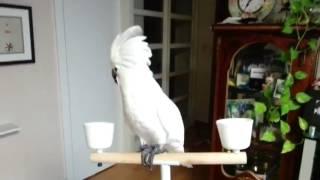앵무새 춤 코카투