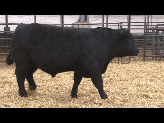 Schiefelbein Angus Farms Lot 340