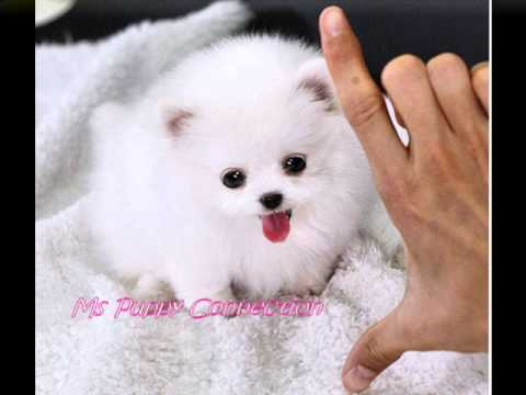 Tiny Teacup Pomeranian Puppies For Sale Teacup Pom Puppies Youtube