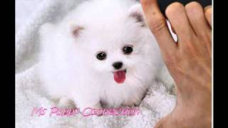 Tiny Teacup Pomeranian Puppies For Sale, Teacup Pom Puppies