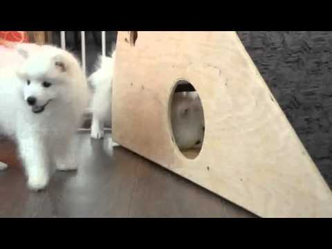 Cute Japanese Spitz Puppies playing together