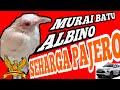 Burung Murai Batu Albino Seharga Pajero  Mp3 - Mp4 Download