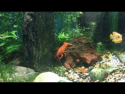 Mexican Dwarf Crayfish And Neon Red Crayfish