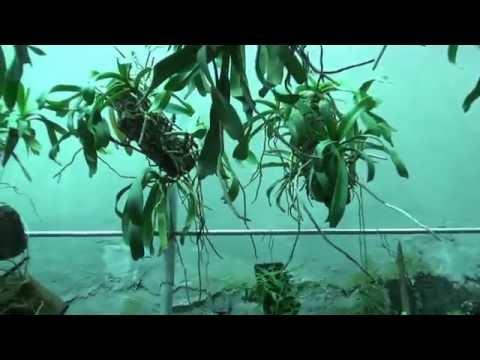 Cách cho  ĐAI CHÂU nở hoa vào dịp tết (Hoa lan tháng 11)0905685667