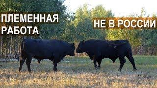 Фермер Александр Москвин. О ПЛЕМЕННОЙ РАБОТЕ В МЯСНОМ СКОТОВОДСТВЕ