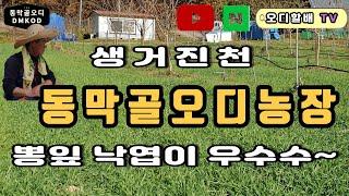 늦가을 생거진천 동막골오디농장 가을정취