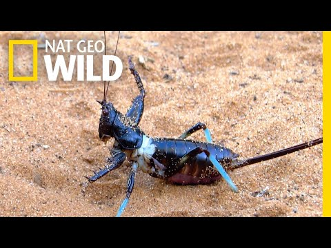 Giant Fighting Bug Filmed For First Time   Nat Geo Wild