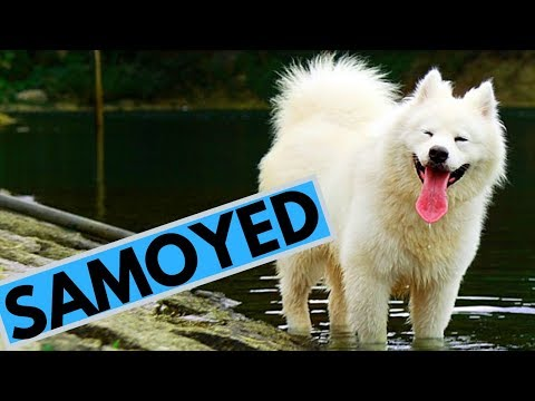 Samoyed - Facts about this Odorless Breed with Big Smile