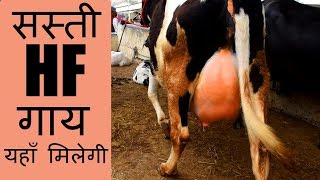 This video features low cost holstein friesian cow (hf cow) available at kurali mandi of punjab india.the are high milk yield.