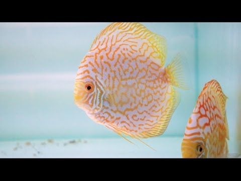 Golden Checkerboard Diskus-Zuchtpaar | Golden Checkerboard Discus Breeding Pair