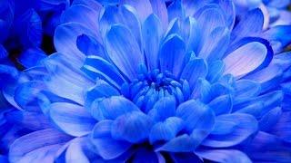ტიროდნენ ქრიზანთემები / Qrizantemebi / Chrysanthemum