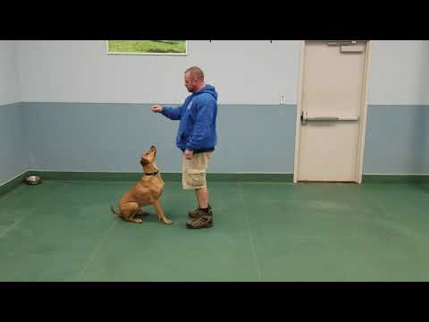 Spartacus working with our trainer
