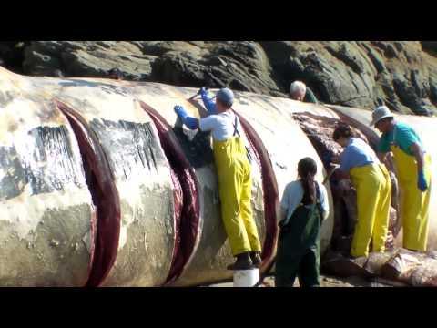 Bean Hollow State beach Blue Whale necropsy 2 5