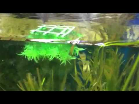 Paul talbots tip on floating plastic plant for breeding for Artificial fish pond plants