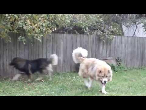 видео: Наша охрана/ Кавказская овчарка