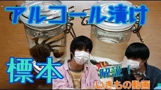 解説!いきもの動画 アルコール漬けの液浸標本を作ろう!