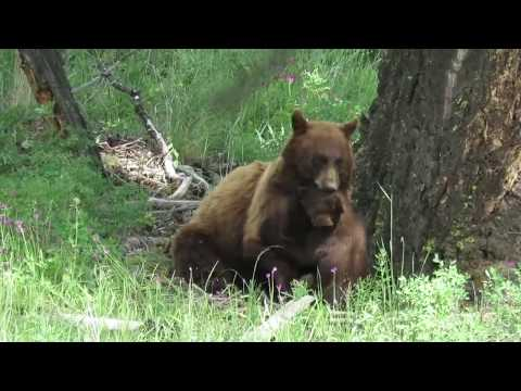 Patient mother bear and playful cub - Yellowstone National Park