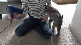 oskar the blind kitten versus hair dryer epic cat battle