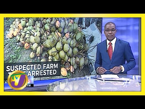 Suspected Farm Thief in St. Mary, Jamaica Arrested   TVJ News