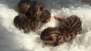 Малыши. Маленькие бенгальские котята Exotic Pride