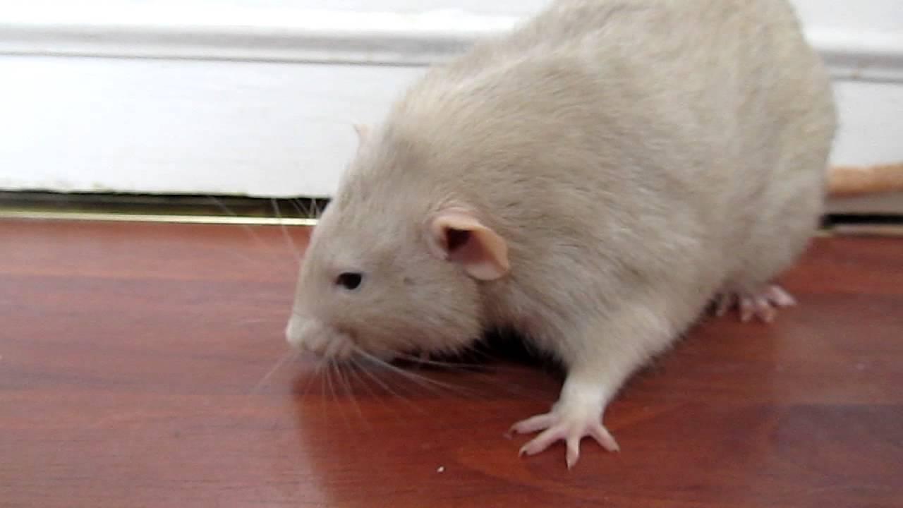 Help! My Rat's Eyes Are Bleeding! Why Do My Rat's Eyes ...  Rat Vomit
