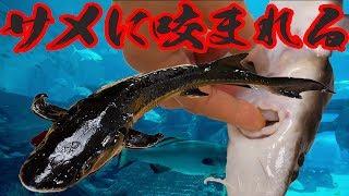淡水のサメを寿司にして食べたら激うまだった!!