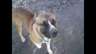 видео Дрессировка собак, как научить щенка отдавать кость и не кусаться
