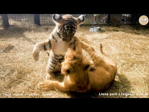 Лев против Тигра 😂😂😂 Тайган. АРХИВ.  Lion vs tiger. Taigan.