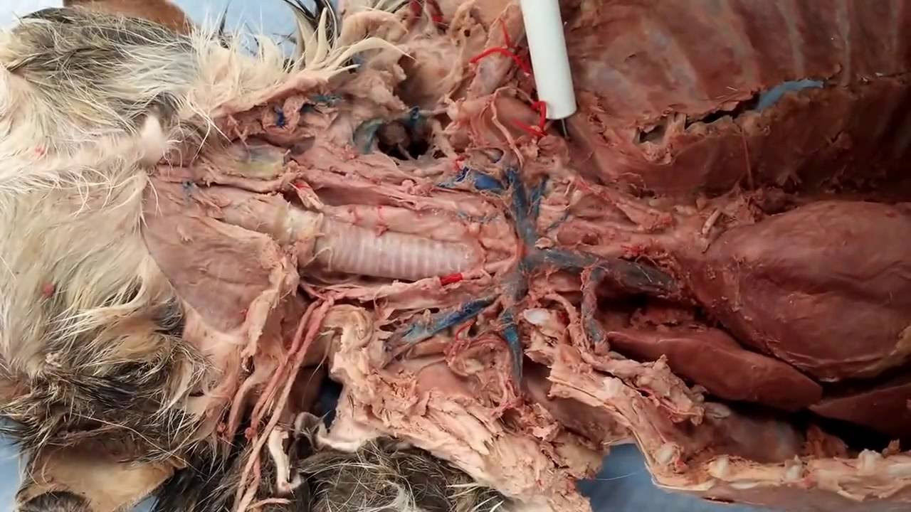 Cat Dissection Thoracic Circulation Youtube